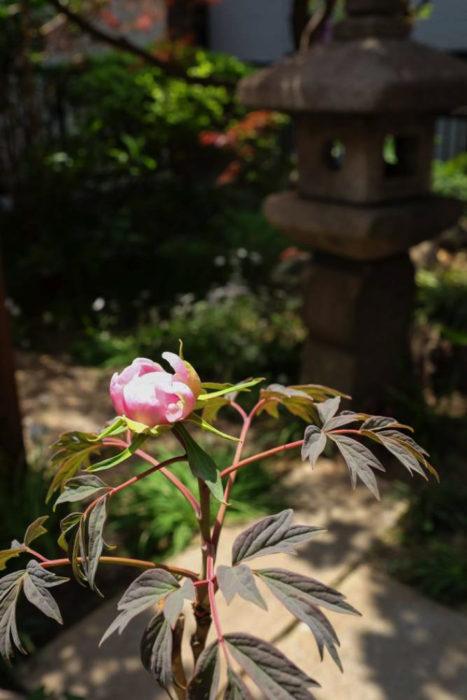 お庭で咲きはじめていたボタンのつぼみ